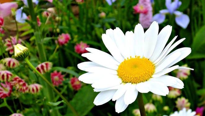 Wildflower, daisy