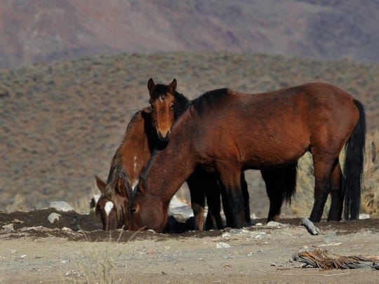Wild horses are seen during a BLM tour in the Pine Nut Mountains just outside of Dayton on Jan. 23, 2015.