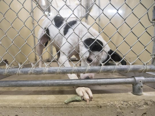 Dot chases a doggy treat underneath the door of her cage at the Ross County Humane Society in this Gazette file photo.