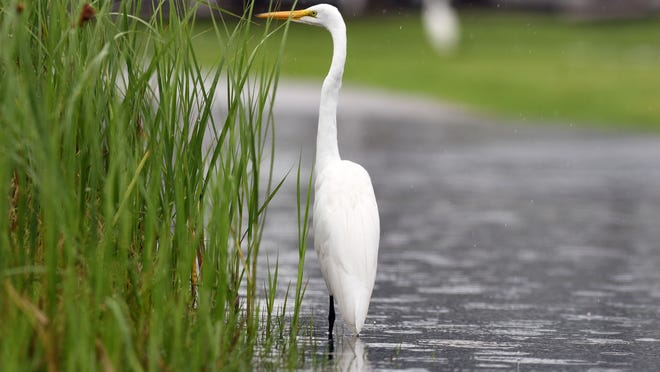 A great egret stands in a puddle in a flooded parking lot at the Battleship North Carolina in Wilmington, N.C. in 2018. There's an effort to create a park on the surrounding Eagles Island.