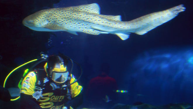 """As a zebra shark swims overhead, NASCAR Nationwide Series driver Brendan Gaughan checks out other fish in the Newport Aquarium's """"Surrounded by Sharks"""" exhibit."""