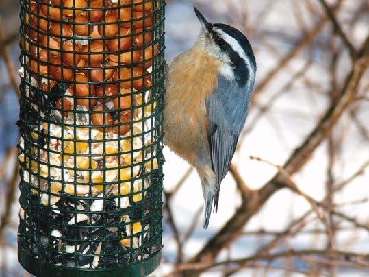 WDH 0220 Outdoor Rec Red-breasted nuthatch.jpg