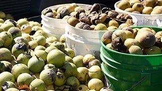 The black walnut harvest season starts in early October.