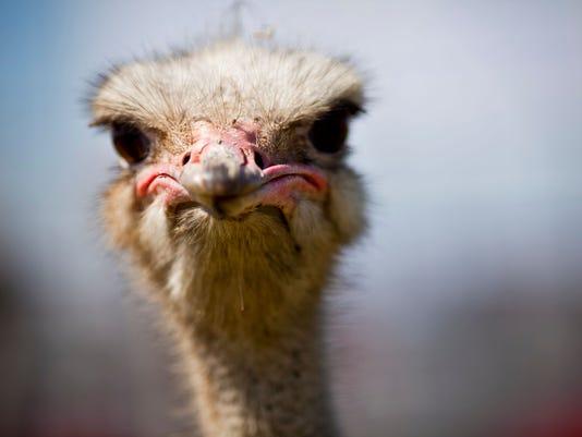 Ostrich Festival kickoff