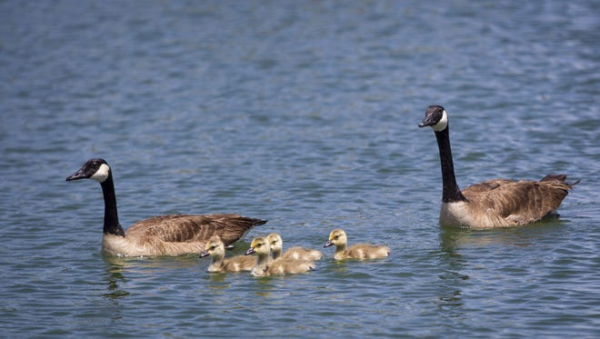 A pair of geese swim with a brood of four goslings in one in one of the 21 ponds in the Crystal Gardens development in Avondale on Thursday, May 8, 2014. The city of Avondale is releasing 5000 pounds of tilapia and 1500 pounds of catfish to help control the ecosystem in its wetlands.