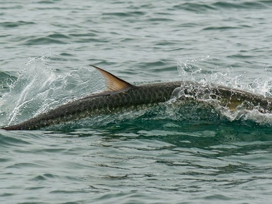 A tarpon surfaces during the 'Ding' Darling and Doc Ford's Tarpon Tournament.