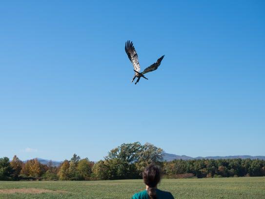 A rehabilitated juvenile bald eagle flies away after