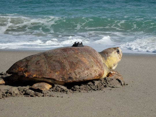 Honda, the sea turtle, looks out before entering the Atlantic surf Nov. 28, on the beach by Loggerhead Marinelife Center in Juno Beach where the turtle was rehabilitated medically.