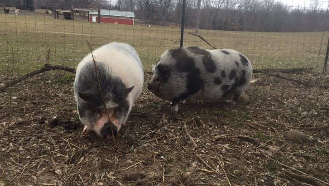 Potbellied pig Adam, left, an 8-year-old, 182-pound pig rescued Feb. 7 from his home underneath a vacant trailer explores his new home with Eve at the SASHA Farm animal sanctuary in Manchester.