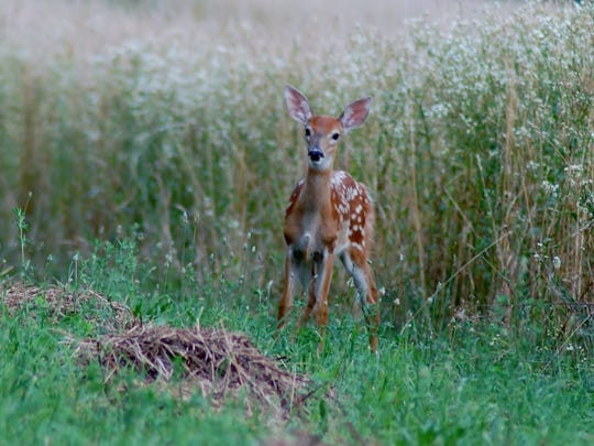 A fawn steps out of the high grasses of farmland in Pennsylvania.