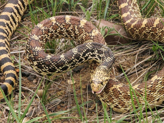 A bull snake reacts to being disturbed on the North Shore Trail east of Ryan Dam.