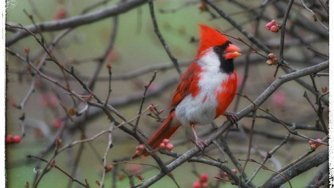 This leucistic, or partially albino, cardinal was spotted in southern Indiana on March 6, 2018.