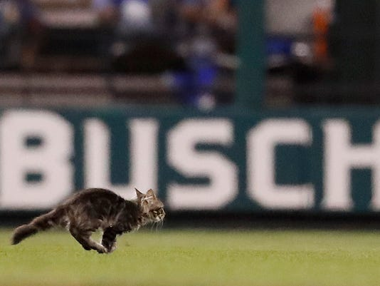 FILE - In this Wednesday, Aug. 9, 2017 file photo, a cat runs across the field at Busch Stadium during the sixth inning of a baseball game between the St. Louis Cardinals and the Kansas City Royals in St. Louis. The Rally Cat won't be spending time frolicking as the mascot of the St. Louis Cardinals. The four-month-old tabby disappeared and the St. Louis Feral Cat Outreach captured it the next day. The Cardinals announced plans to adopt the cat, host a Rally Cat Appreciation Day on Sept. 10 and let it live in the clubhouse. But the nonprofit balked, saying the team wanted to exploit the cat rather than take care of it. (AP Photo/Jeff Roberson, File)