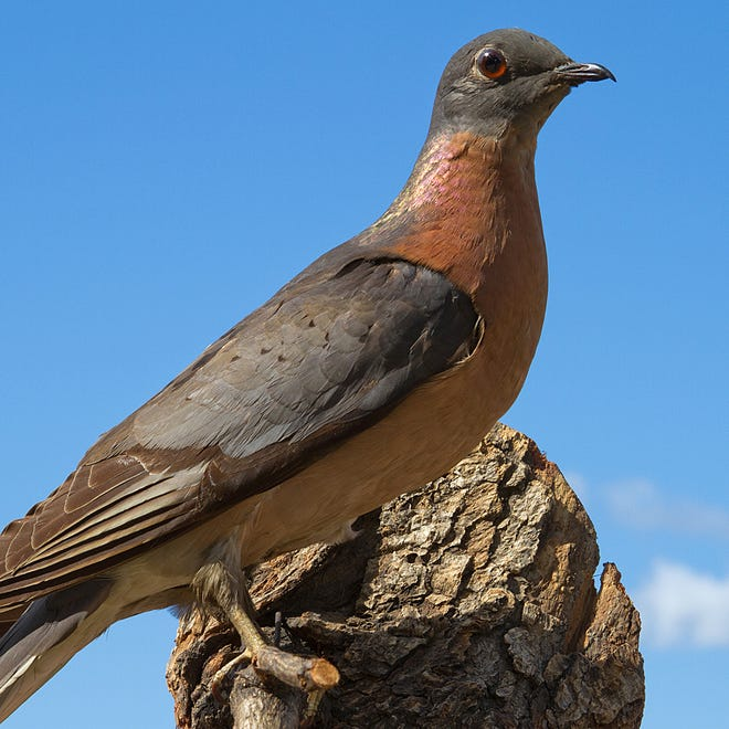 The University of Wisconsin-Stevens Point will mark the 100-year anniversary of the passenger pigeon's extinction with a lecture series.