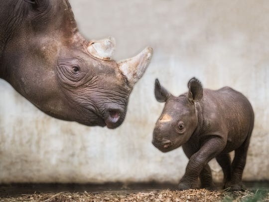 Lulu the Eastern black rhino was born at Cleveland Metroparks Zoo in February 2018.
