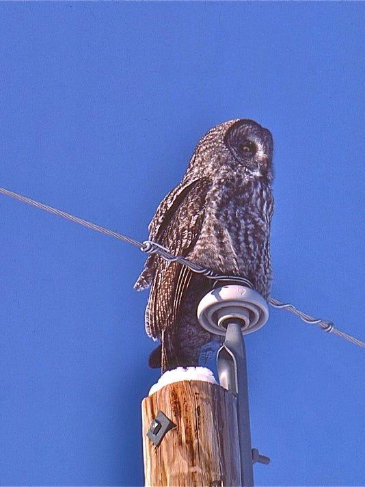 636233755719967199-Marsi-owl.jpg