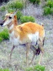The baby pronghorn is on its way to new life.