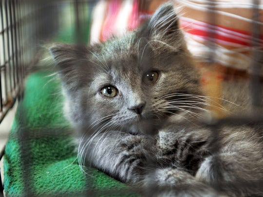 A kitten waits to be adopted at the Johnson County Humane Society  in Franklin in 2012.