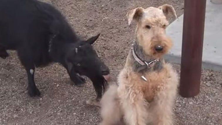 Goat licks dog
