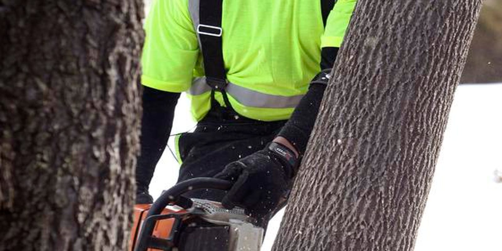 Waterloo cutting down ash trees as infestation looms