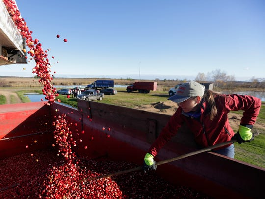 Kristen Henslin, of Whittlesey Cranberry Co., pushes around cranberries as they tumble into a truck, waiting transport, October 21, 2016.