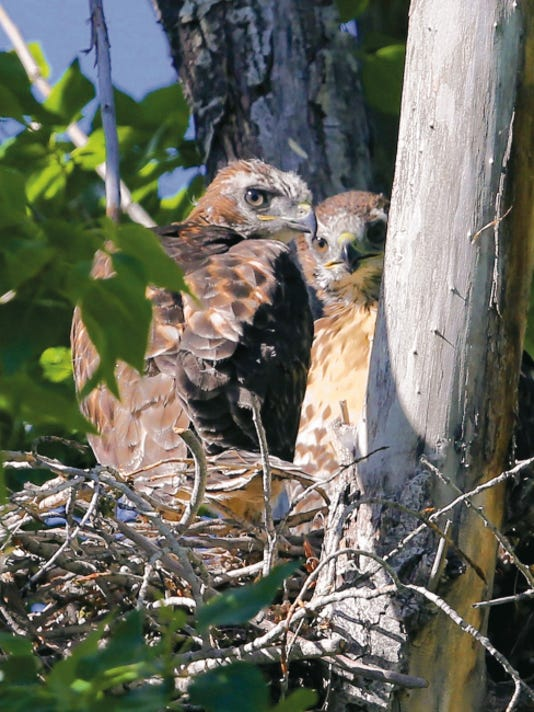 Two red-tailed hawk nestlings huddle together as they warily watch photographer David Tremblay capture their portraits.