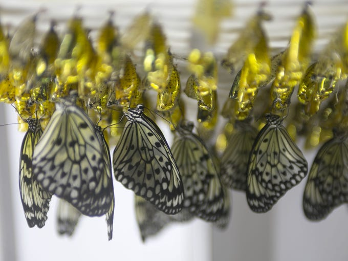 Paper kite butterflies emerge from their chrysalises