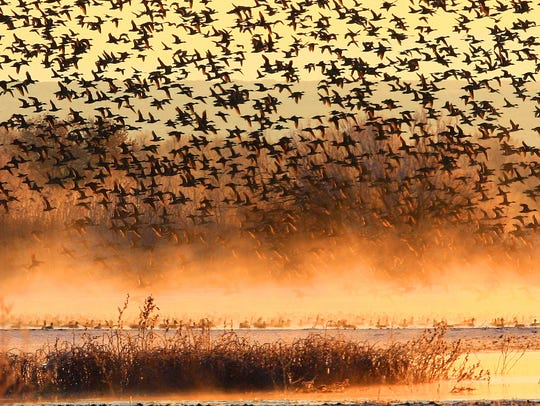 Thousands of geese rise from the mist at a lake at