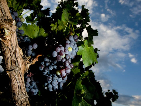 Grapes grow on the vines of Todd Bostock's  Pronghorn