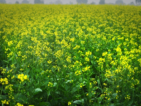 From Ground Up mustard flowers