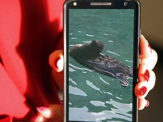 Mother sea otter clutches new born -- a photo Martha Vasquez took on her phone