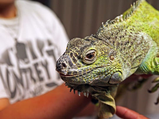 Cleo is a green iguana, the most common variety