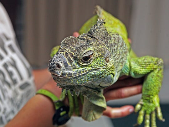 Iguanas are not recommended as household pets