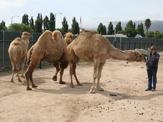 Camels stand in the center of their new exhibit with Zoo Director Charlie Sammut