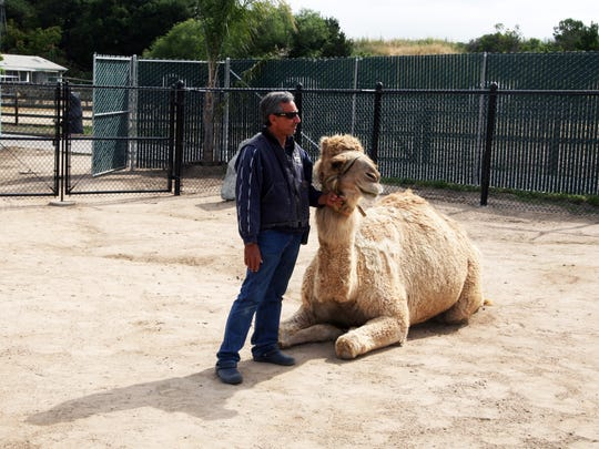 Tucker demonstrates a chusing pose, characteristic of all camels. Charlie Sammut, Monterey Zoo director is on the left