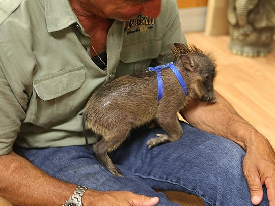 Harley, a male baby wart hog rests on Monterey Zoo director Charlie Sammut's lap