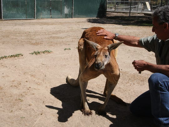 Rufus enjoys a pat on the back from Charlie Sammut, Monterey Zoo director