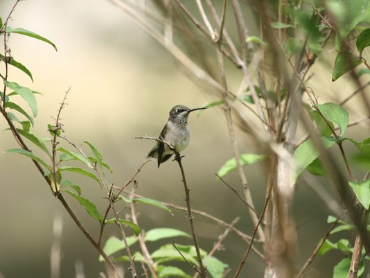 Young female humminbird-IMG-6789.JPG