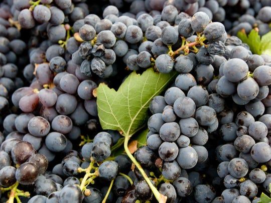 Grapes in Dick Erath's Cimarron Vineyeard near Wilcox.