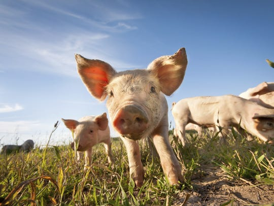Iowa is the nation's largest pork producer, raising about 40 to 50 million animals a year.