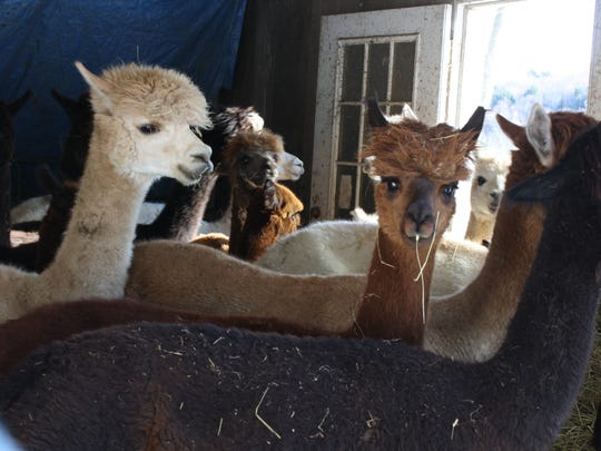 Ann Merriwether's alpacas provide some of the wool
