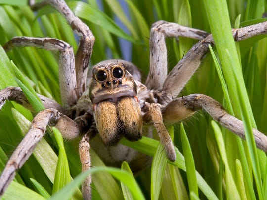 Wolf spider: There are more than 2,000 species of wolf spider worldwide, and more than 100 are found in the United States. The one common to the desert is brown, hairy and slightly smaller than a tarantula.