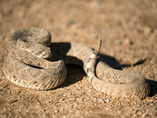 Rattlesnake dens under Phoenix houses? Not likely