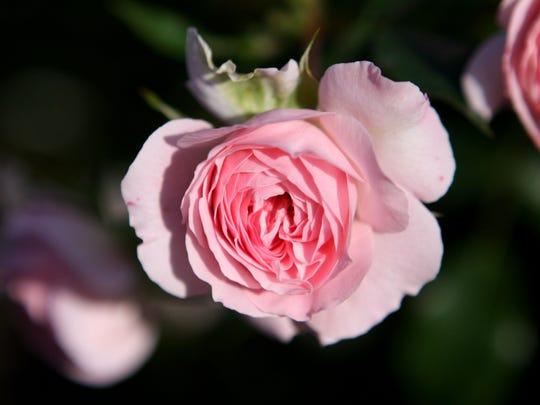 A Larissa rose in the Peggy Rockefeller Rose Garden