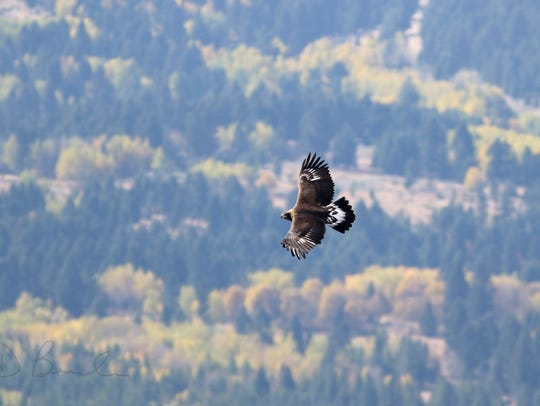 A golden eagle soars through the Big Belt Mountains