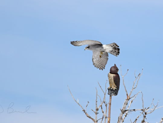 "A northern goshawk exhibits ""mobbing"" behavior on a"