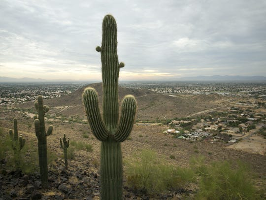 Saguaros along the Cholla Loop Trail in the Glendale