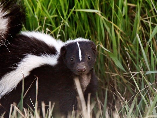 Florida is home to the striped and the spotted skunk.