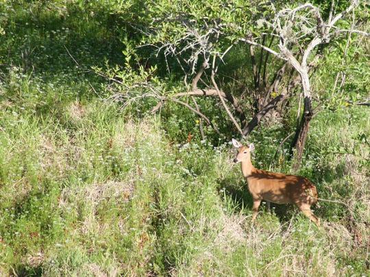 Deer, at Myakka River State Park in Sarasota. The photographer was on the Canopy Walkway tower, and got this shot with a camera lens.