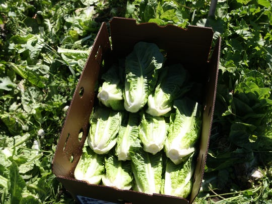 In this file photo, a carton of romaine lettuce will soon head to the market.